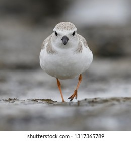 Piping Plover (Charadrius melodus) foraging on a barrier island beach in winter - Jekyll Island, Georgia