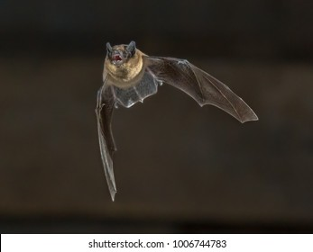 Pipistrelle bat (Pipistrellus pipistrellus) flying on wooden attic of house in darkness