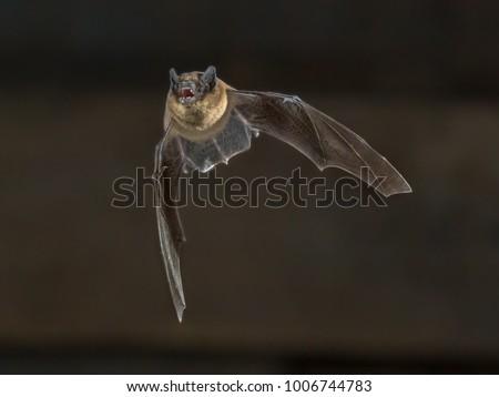pipistrelle bat pipistrellus pipistrellus flying on の写真素材 今