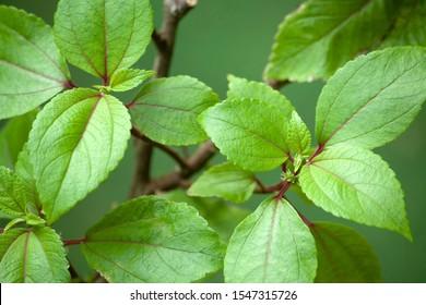 Pipturus albidus, Hawaiian Mamaki plant. Herbal medicine.
