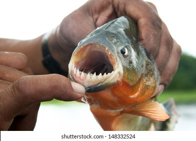 Piranha fish with his mouth open