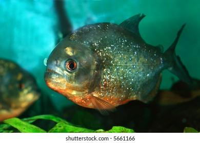Piranha Amazon Fish Images, Stock Photos & Vectors | Shutterstock