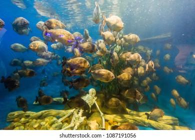 piranha fish swim around human skeleton in big aquarium