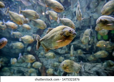 Piranha fish that can eat meat in a very short time and leave only the bones