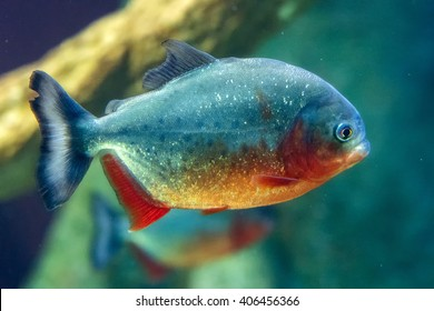 Piranha Images, Stock Photos & Vectors | Shutterstock