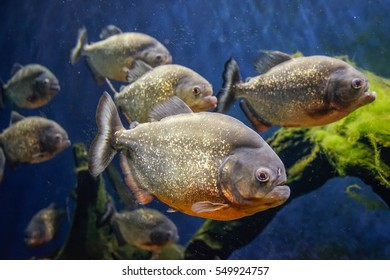 Piranha fish underwater closeup protrait.