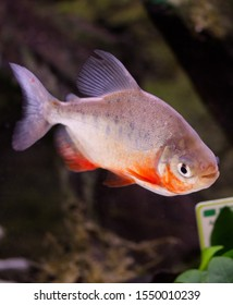 Thered-bellied piranha, thered piranha(Pygocentrus nattereri)