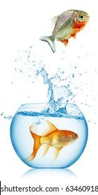 piranha runs away from gold fish isolated