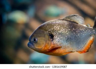 Piranha Underwater Swimming in the Ocean