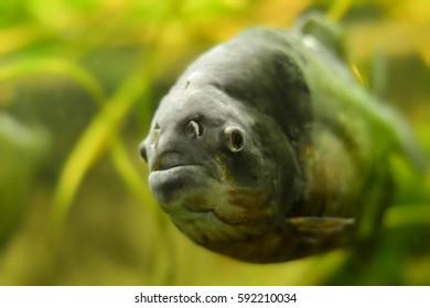 a piranha in the zoo