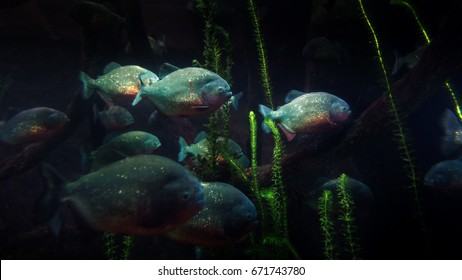 Piranhas of the amazon river.