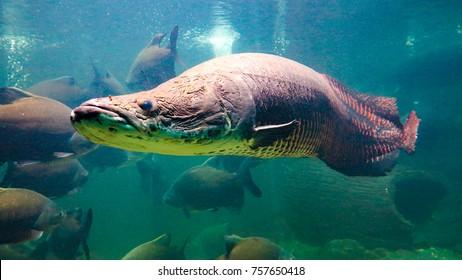 22397518f5e Pirarucu Fish Images, Stock Photos & Vectors   Shutterstock