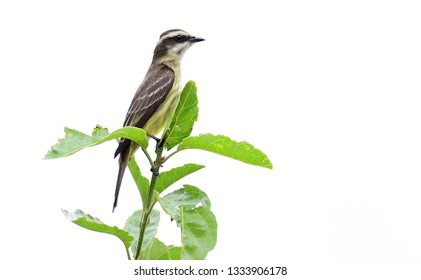 Piratic Flycatcher (Legatus leucophaius) perched on top of a tree branch