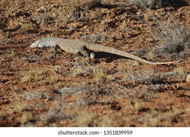 Pirentie goanna from the central desert region, Alice Springs. I was very lucky to see it alive and well on the road between Alice Springs and Santa Theresa.