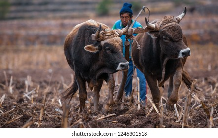 Pisac, Peru - August 12 2011: two oxen tied on their horns, preparing the land for planting.