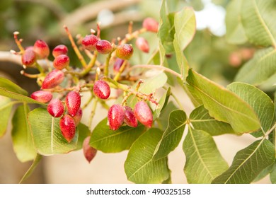 Pistachio Fruits On The Branch