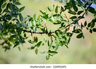 Pistachio leaves (Pistacia atlantica subsp. mutica)