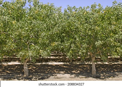 Pistachio nuts growing on a tree in an orchard in central California growing region