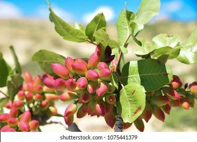 Pistachio and tree