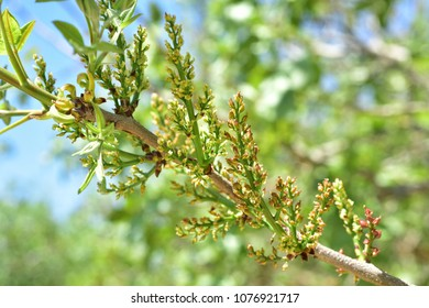 Pistachio tree bloom on the field green leaves