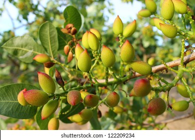 pistachio tree branch full of pistachio nuts