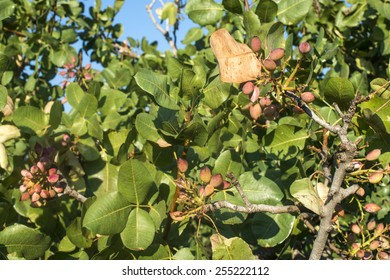 Pistachio tree. Close up branch with fruits. Greece