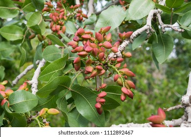Pistachio tree in Iran
