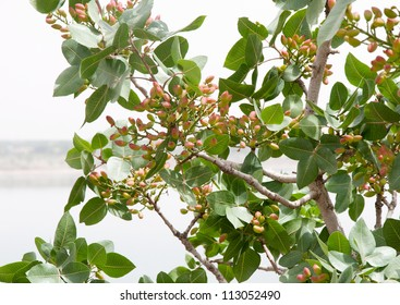 Pistachio tree in july in Turkey