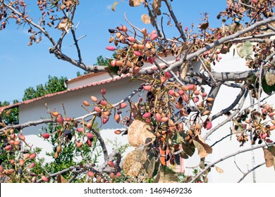 Pistachio tree in the yard. Branches with pistachios against the sky and the house on the island of Aegina in Greece.