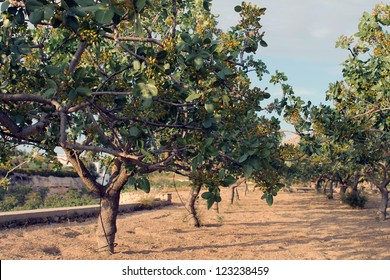 A pistachio Trees Plantation in Aegina Island, Greece
