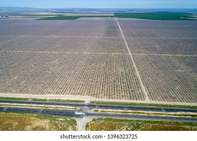 Pistachios and Almonds field in California, United States. Pistachio trees in rural commercial orchard