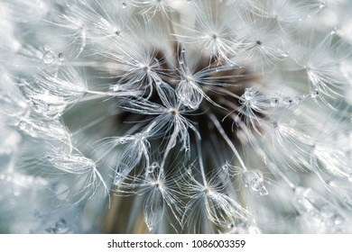 the pistils of a dandelion in macro with dew beads