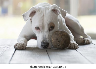 Pit bull with ball.