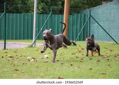 pit bull dog and bulldog playing in the park. Sunny day