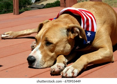 Pit Bull Dog Laying Down with Patriotic Bandana