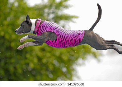 A pit bull dog leaps like a bullet into a pool of water (below, out of frame); beautiful jumping form on this dog!