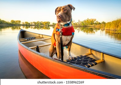 pit bull  dog in a life jacket in a red canoe on a calm lake in Colorado in fall scenery, recreation with your pet concept
