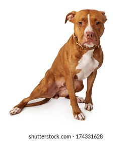 Pit Bull dog looking at the camera with a sad look on his face