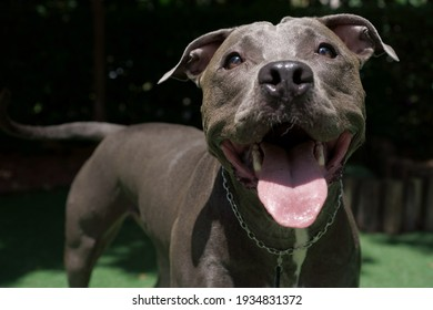 pit bull dog playing in the park. Sunny day. Dog looking at photo