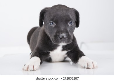 Pit Bull Puppy Images Stock Photos Vectors Shutterstock