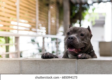 Pit bull dogs and puppy animal