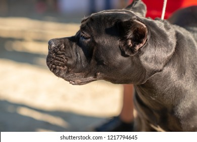 Pit bull domestic thoroughbred big dog stands and looks away.