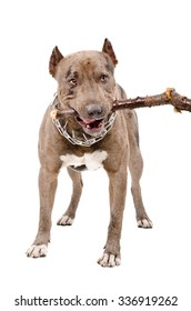 Pit bull gnaws a stick standing isolated on white background