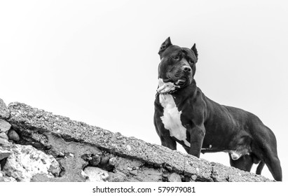 Pit bull looking down