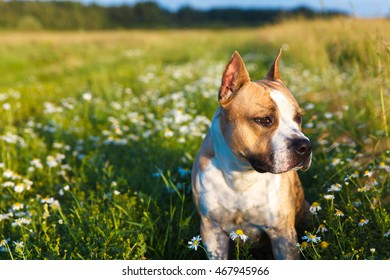 pit bull outdoors