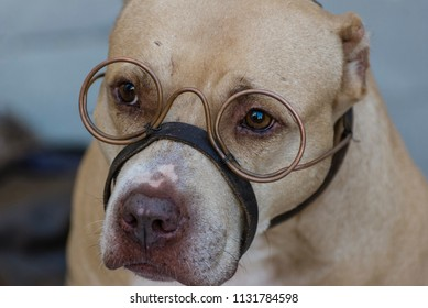 Pit bull portrait/Close up of a pit bull dog face looking through crafted steampunk copper wire eyeglasses.