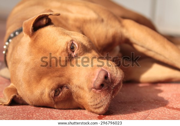 pit bull red Nose At rest