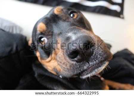Pit Bull Rottweiler Mix Stock Photo Edit Now 664322995 Shutterstock