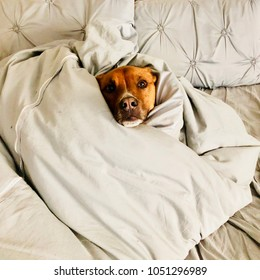 Pit Bull Shepherd Dog Wrapped in Blanket in Bed