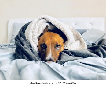 Pit Bull Shepherd Dog Wrapped in Blanket in Bed Cozy Portrait
